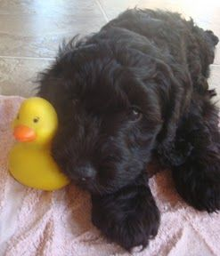 Labradoodle Puppies for Sale | Gorgeous Doodles | Australian Labradoodle Breeder