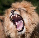 9 best big cats that roar images on pinterest roaring lion lion roaring httpamazonbig cats fandeluxe Ebook collections