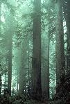 California Redwoods. I've been taken with them since reading about them in elementary school. I hope one day to see them.