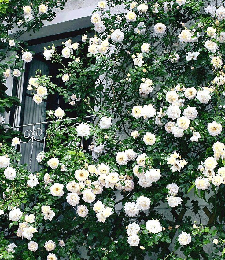 Rambler-Rose 'Alberic Barbier': 2m breit, 5m hoch