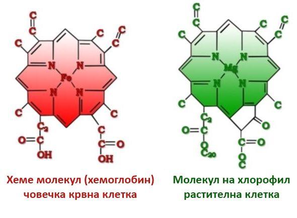 Хлорофил и хемоглобин