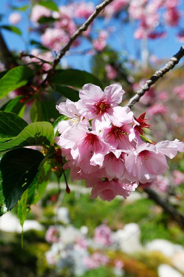 Balboa Park S Japanese Friendship Garden In 2020 Pink Blossom Blossom Cherry Blossom Festival