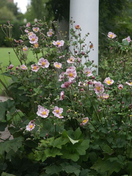 Anemone Tomentosa Robustissima Height 36 Quot Plant 20