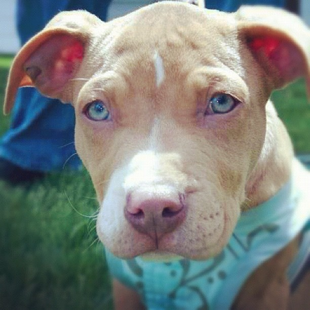 """Michelle says, """"Meet Eliza, my 2 month old female Pitbull. She is my fun, wild playful girl & also my cuddle snuggly bunny. So loving & my best friend!"""""""