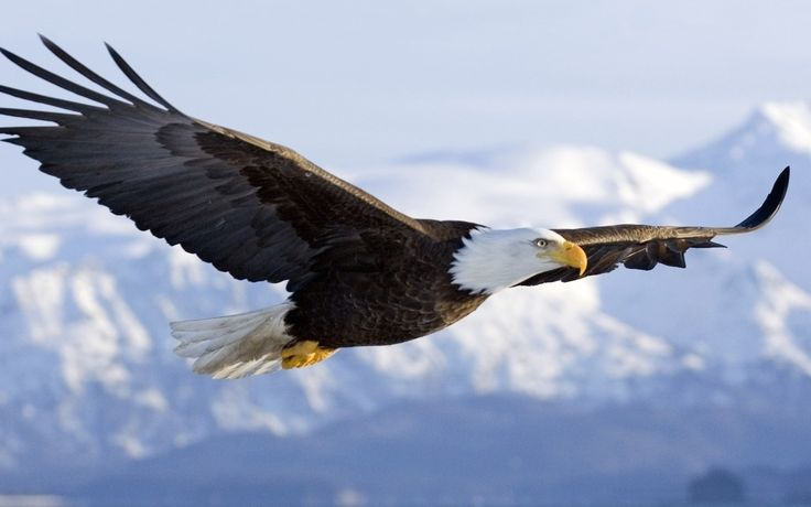 desktop eagles wallpaper free