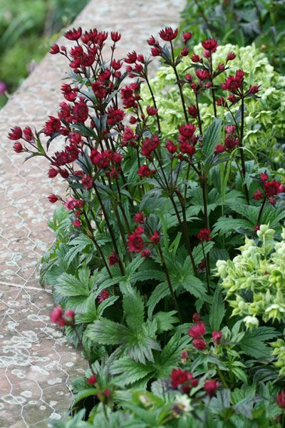 "Masterwort 'Hadspen Blood'. Astrantia major. 18-24"" tall. Blooms May-July."