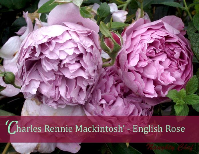 over 1000 id er om smukke roser p pinterest pink roser. Black Bedroom Furniture Sets. Home Design Ideas