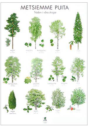 Suomalaisia puulajeja, juliste