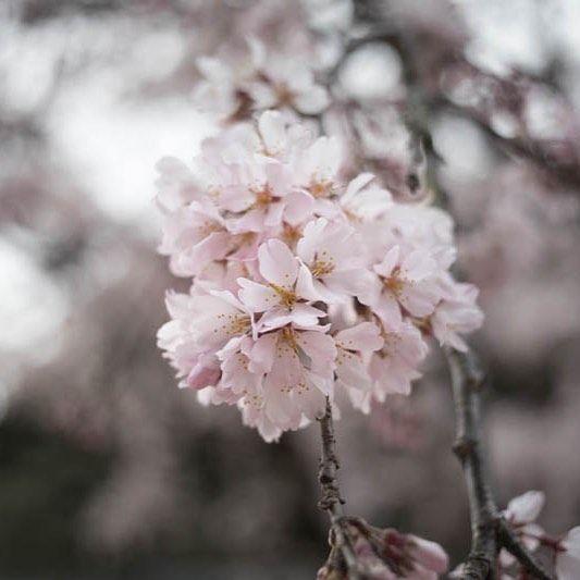 名古屋の開花宣言はうちのすぐ近くのお寺が基準だそうです この写真の撮影の時ヘッドホンでヴィヴァルディの1楽章を聞きながらでした 文化人気取りです #cherry #blossom #spring #vivaldi #four_season #春 #音楽を聴きながら #美容室#桜#名古屋#開花宣言#四季
