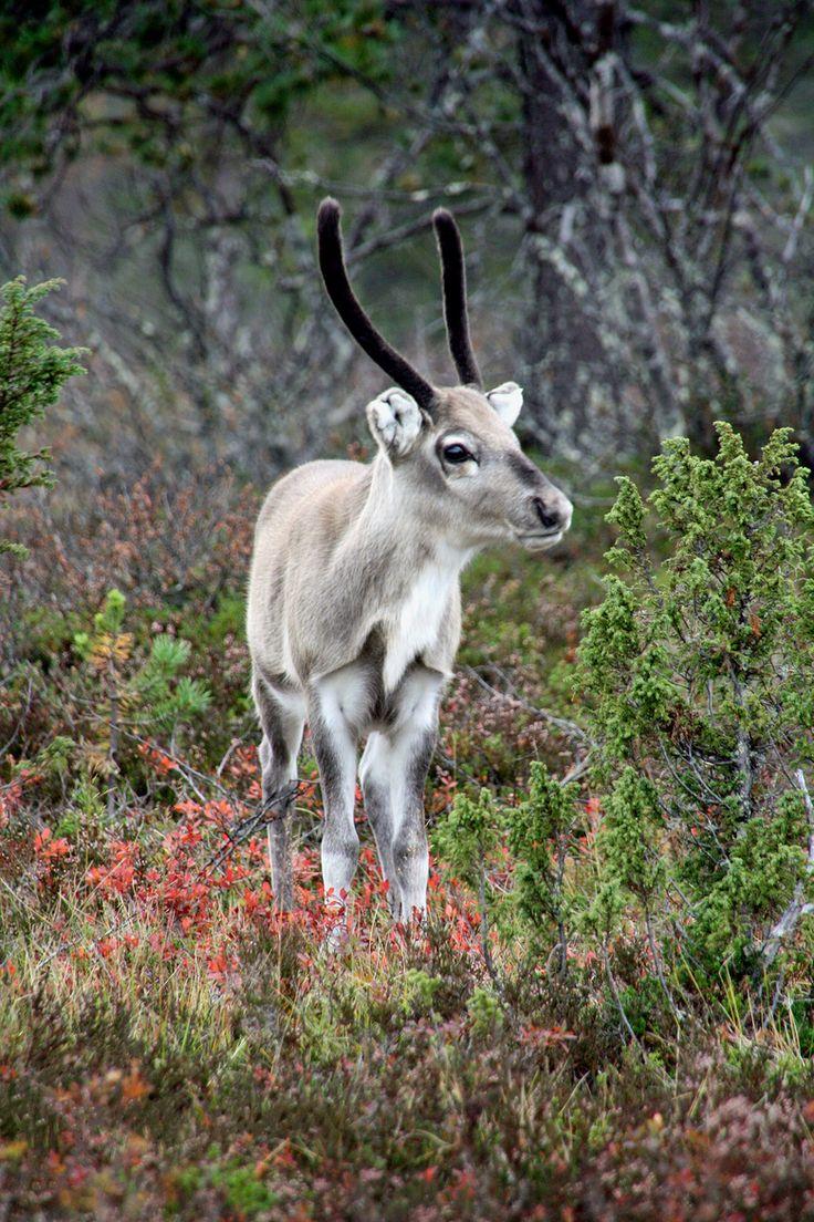 Reindeer. Photo byAnna Ojala