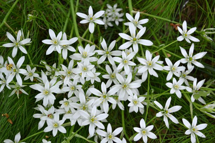 Star of Bethlehem | by Brooklyn Botanic Garden