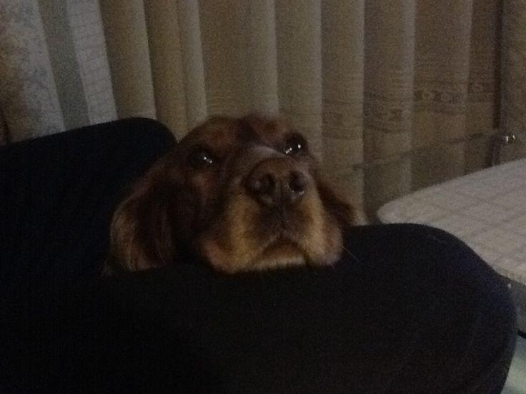 Duna. Nuestra querida cocker. #Mascotas #Animales http://www.vidasalvaje.net/