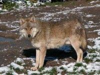 Loup de Pologne