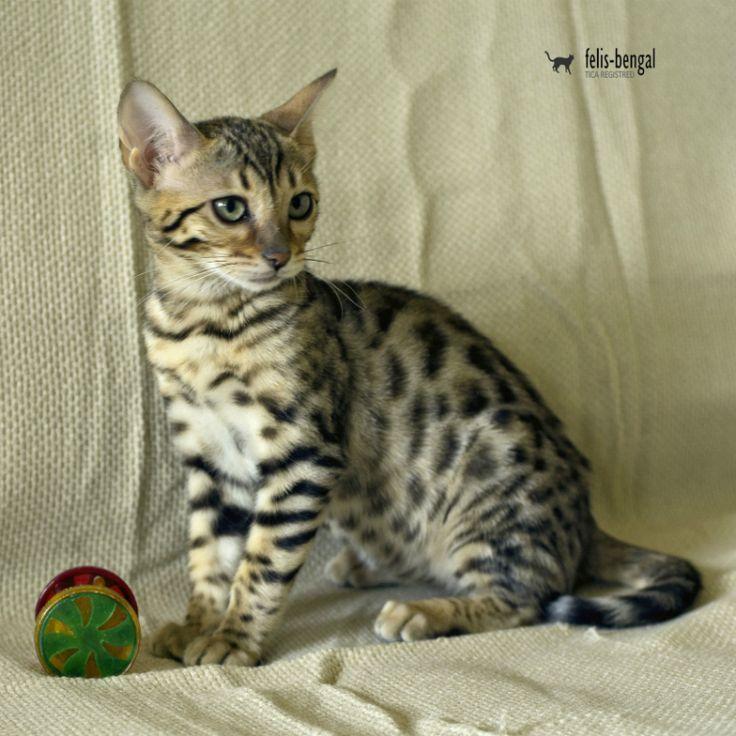 Pui Pisica Bengaleza - Felisbengal Tamina