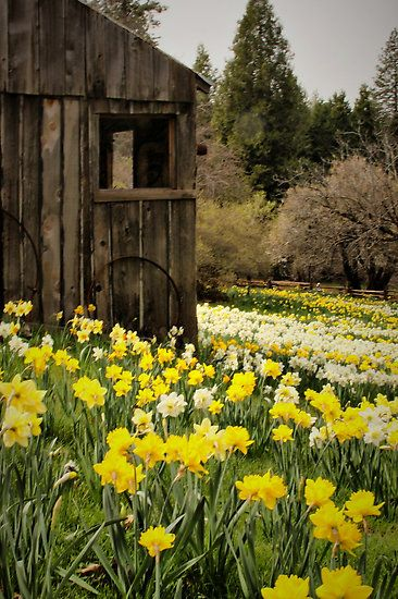 Daffodil fields. Beautiful contrast against a weathered shed My favorite spring flower.
