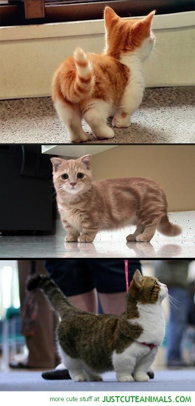 [They're like Corgi Cats!!! Munchkin Cats. I want one!]---------------------**You might wanna hold up on this 'need.' This was a capitalized on birth defect. Vets are seeing a lot of spinal and leg disorders in the Munchkin as it grows. Cats weren't meant to be built like this.