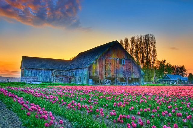♥ tulips: Pink Flowers, Flowers Farms, Flowers Fields, Colors, Tulip Festival, Beautiful, Washington States, West Texas, Old Barns