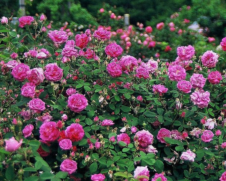 What Is An Old Garden Rose? Click here to find out: http://www.finegardening.com/item/26007/what-is-an-old-garden-rose#
