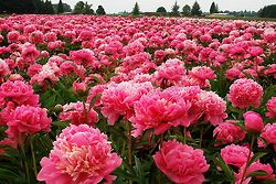 The Beauty of FlowersPink Flower, Fields Flower, Farms, Peonies Gardens, Beautiful, Plants, Flower Fields, Pink Peonies, Heavens