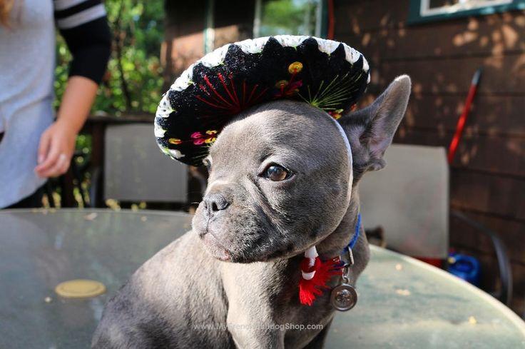 Happy Cinco de Mayo! Blue French Bulldog Puppy