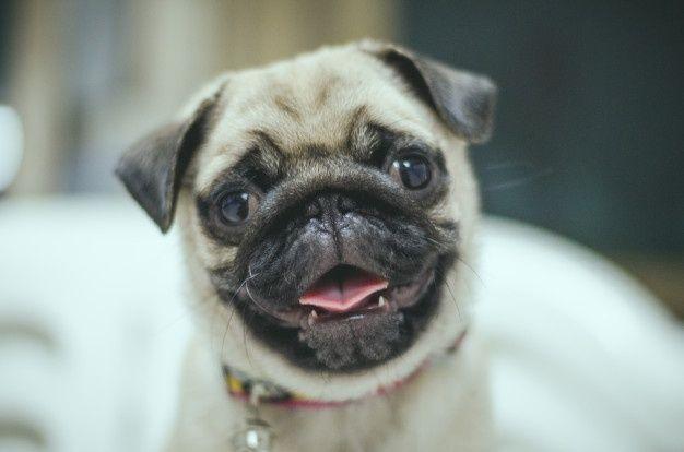 Big Dramatic Eyes Cute Faces Love Pugs Close Up Pugface Pic