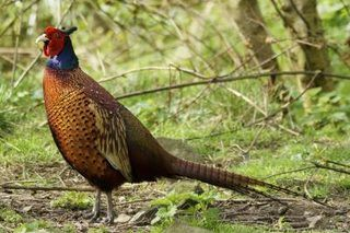 How to Raise Pheasants on a Small Farm (7 Steps) | eHow