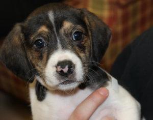 ADOPTED! Petfinder Adoptable Dog | Beagle | Dumfries, VA | Bacon