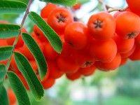 Nalewka jarzębinowa. Owoce jarzębiny zawierają dużo witaminy C. Działają regulująco na pracę żołądka i jelit, mają właściwości żółciopędne i moczopędne.