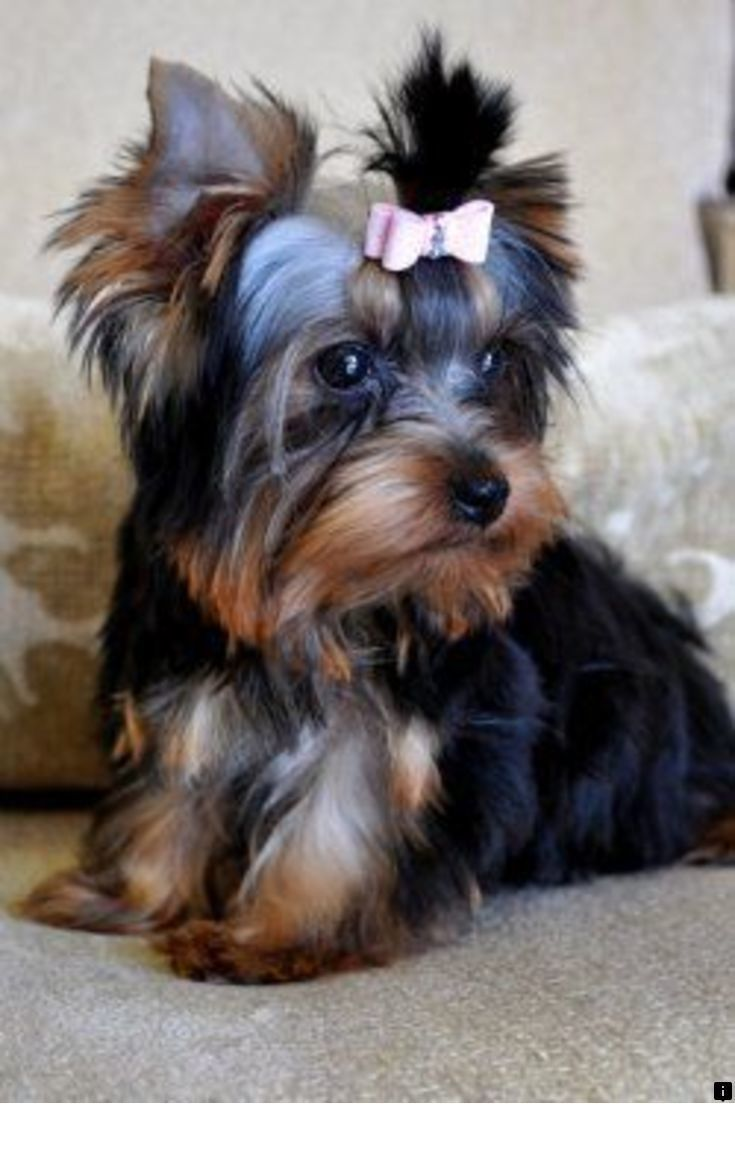 Pin Em Yorkshire Terrier Puppies
