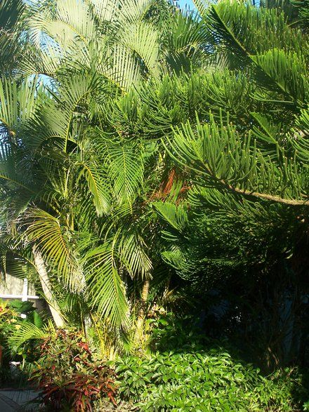 how to take seedlings off of sago palms
