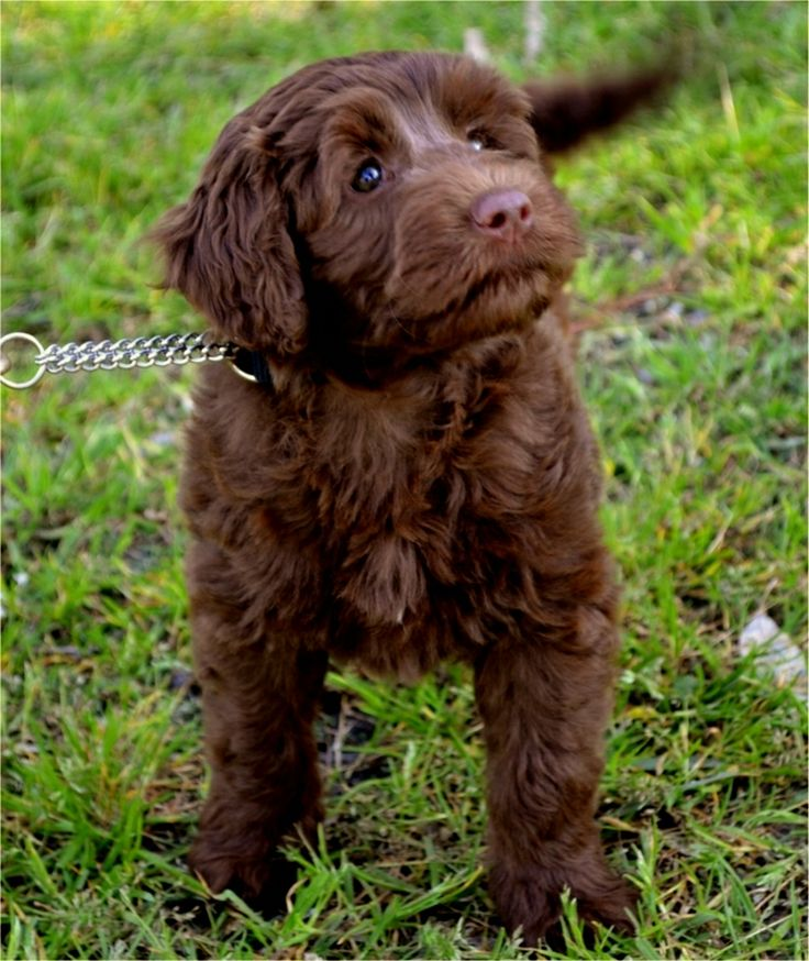 A typical Rutland Manor Australian Cobberdog puppy at