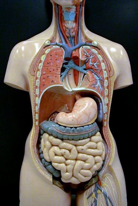 25 Best Anatomical Models Images On Pinterest Medical Science