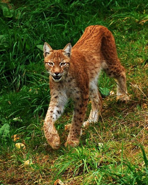 Look at those fluffy feet! What a gorgeous lynx!