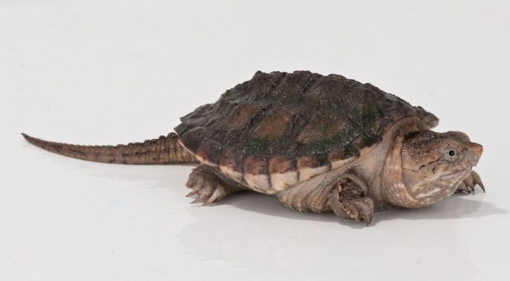 ny snapping turtles pictures   will be working on updating my webpage as frequently as possible.