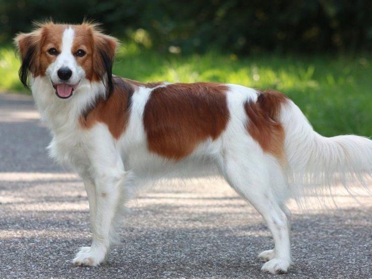 Dutch Kooikerhondje Dog Breed Information Hunde Rassen Hunde Hunderassen