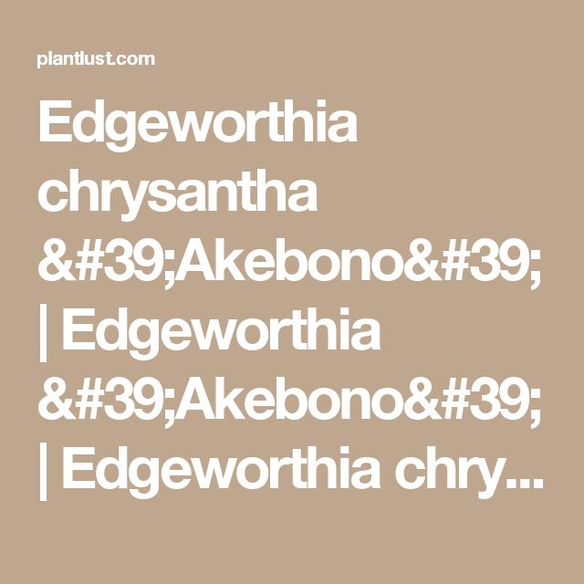 Edgeworthia chrysantha 'Akebono' | Edgeworthia 'Akebono' | Edgeworthia chrysantha 'Rubra' | Edgeworthia chrysantha 'Red Dragon'| plant lust