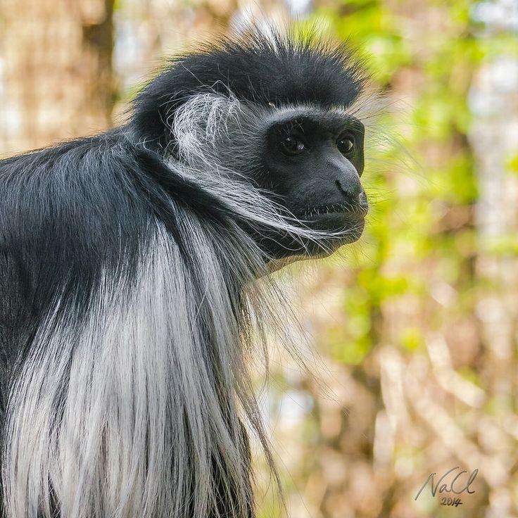 Black-and-white colobus