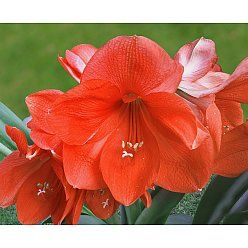 Amaryllis - Orange.