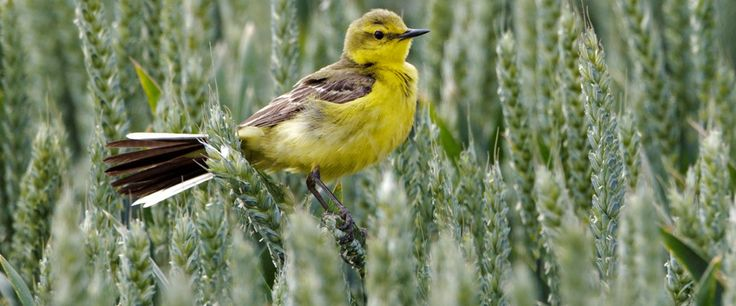 Yellow wagtail perching in wheat