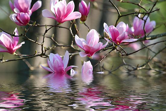 Flowers on a blooming Japanese Magnolia tree reflected in