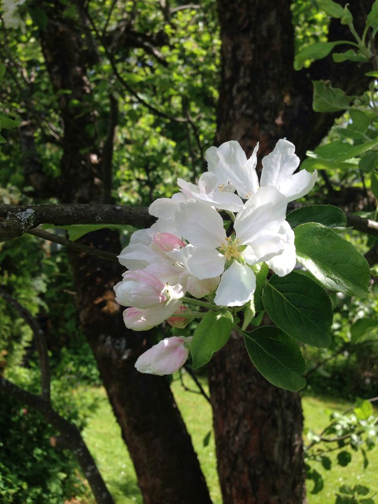 Apple tree June 1. Trondheim, Norway.