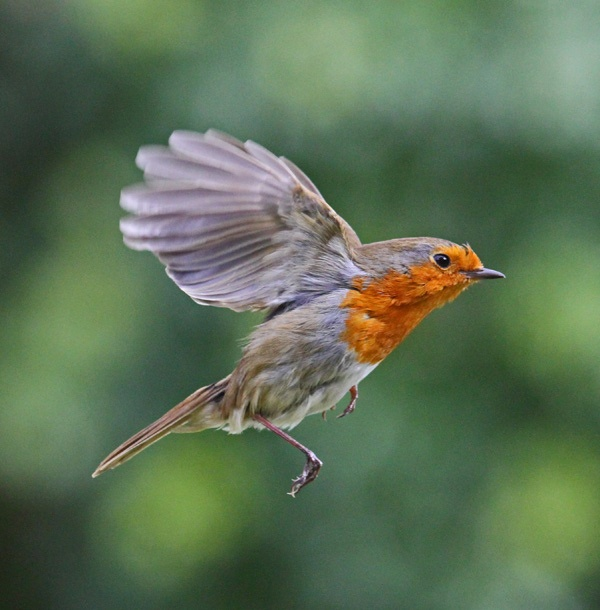 Robin In Flight | Amazing Wallpapers | White background ... |Red Robin Bird Flying