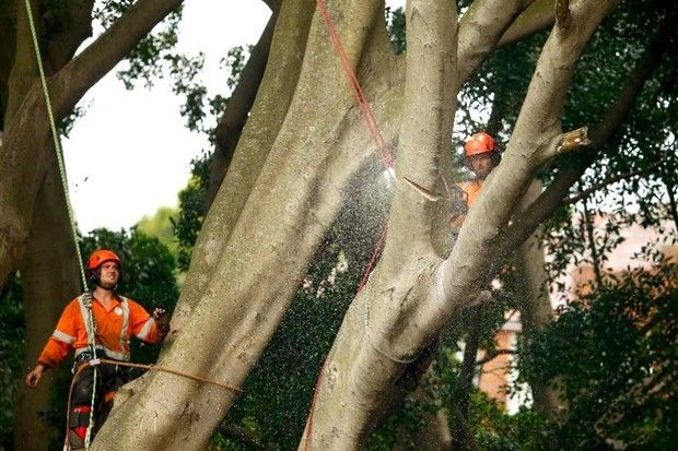 Tree Lopping – Manage The Big Branches #treetrimming #treelopping #treecutting