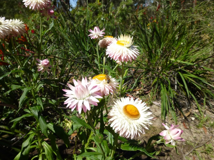 A white-flowered form of Xerochrysum bracteatum (Golden Everlasting Daisy). Native to Australia