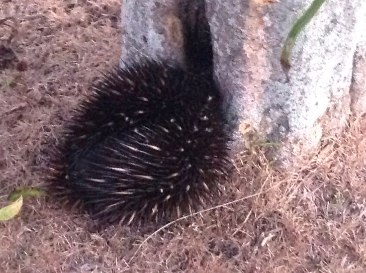 An Echidna waddled into our garden.