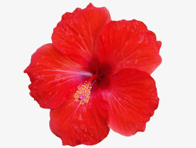 Red Hibiscus Flower Png And Clipart Hibiscus Flower Clipart Flowers