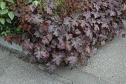 ... late spring to mid summer. It's attractive crinkled lobed leaves
