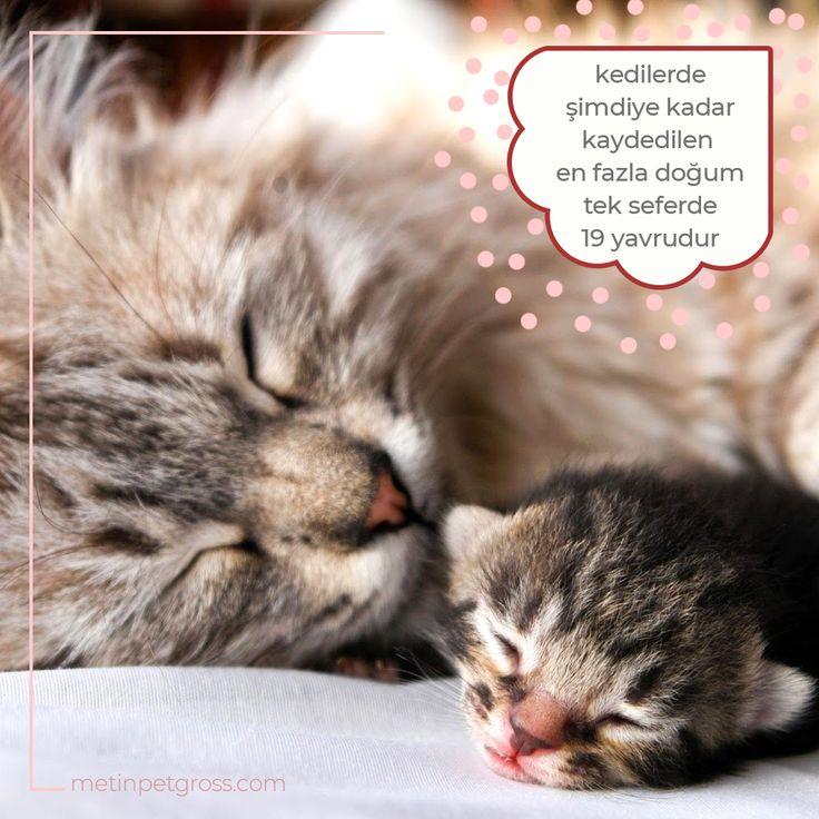 Kediler genelde 1 ila 9 arası yavru doğurur. Şimdiye kadar kaydedilmiş en fazla doğum tek seferde 19 yavrudur.    #kedi #cat #kittens #animallover #animal #instagood #hayvansevgisi #instalike #prilaga #Turkey #ilginçbilgiler #doğa #nature