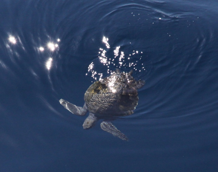 A sea turtle from on-board boat