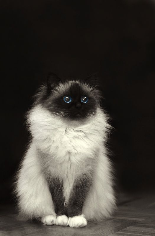 I love Birman cats. They are said to have the soul of a Burmese monk.